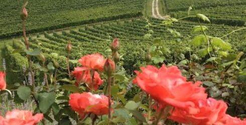 Cesta ruža i vina
